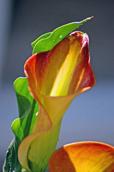 Photograph - Calla Lilies by Donna Bentley