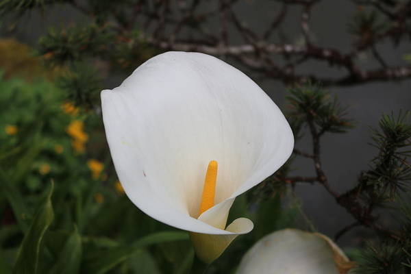 Photograph - Calla Lily - 2 by Christy Pooschke