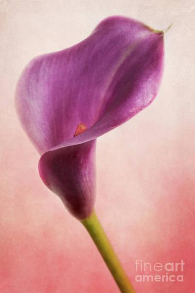 Photograph - Calla Lily 2 by Elena Nosyreva
