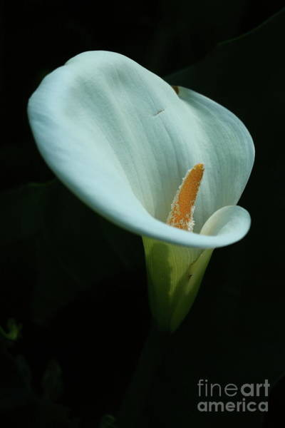 Wall Art - Photograph - Calla Lily by Christiane Schulze Art And Photography