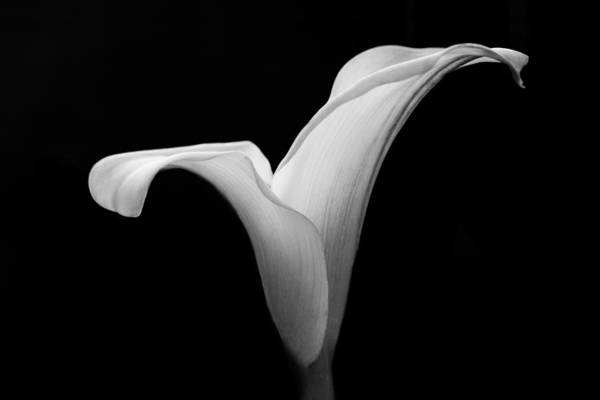 Photograph - Calla Lily by Clare Bambers