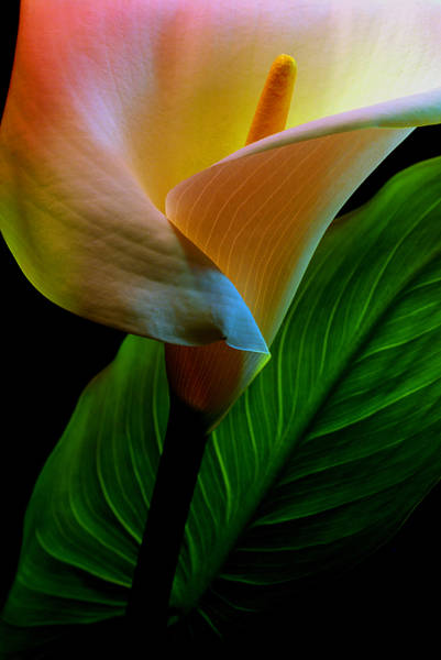 Calla Photograph - Calla Lily by Dung Ma