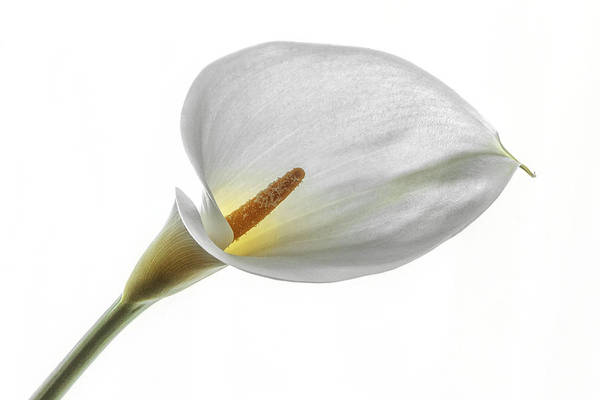 Photograph - Calla Lily Glow by Wes and Dotty Weber