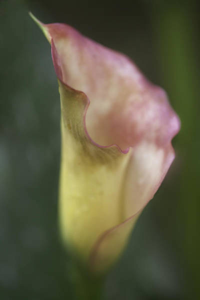 Photograph - Calla Lily by Jacqui Boonstra