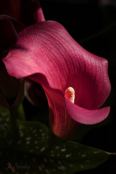 Photograph - Calla Lily by Joanne Smoley