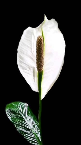 Photograph - Calla Lily by Pamela Walton