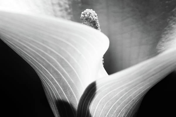 Wall Art - Photograph - Calla Lily by Stelios Kleanthous