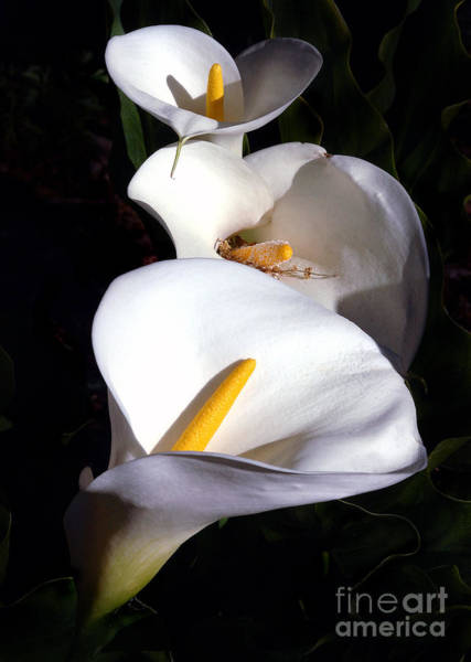 Photograph - Calla Trio by Norman Andrus