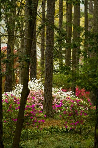 Native Garden Wall Art - Photograph - Callaway Gardens Spring Azaleas by Kathy Clark