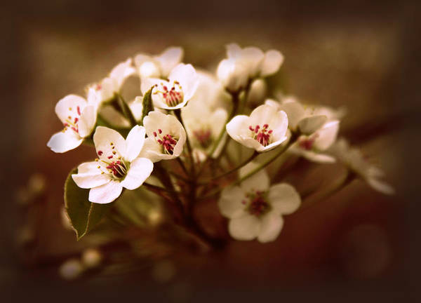 Photograph - Callery Pear by Jessica Jenney