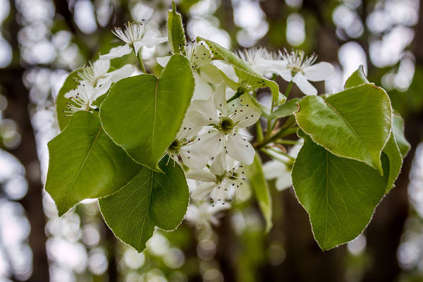 Photograph - Callery Pear Tree Bloom by Susie Weaver