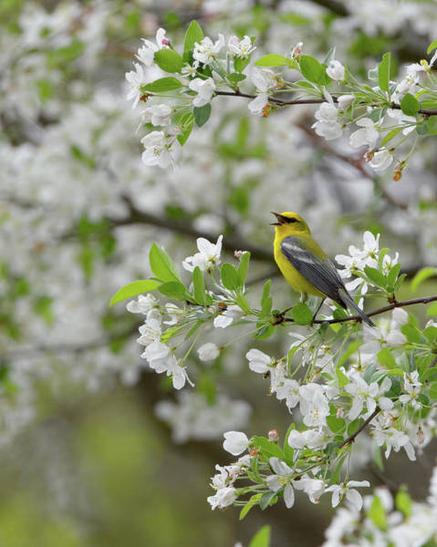 Photograph - Calling Blue Winged Warbler 2017a by Bill Wakeley