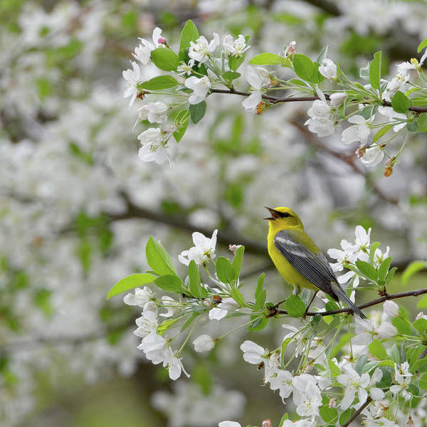 Photograph - Calling Blue Winged Warbler 2017a Square by Bill Wakeley