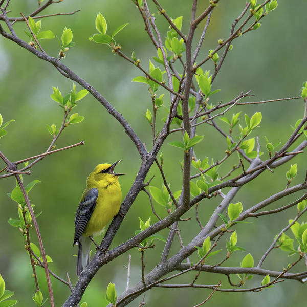 Photograph - Calling Blue Winged Warbler Square by Bill Wakeley