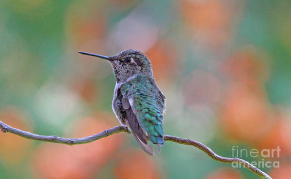 Hummingbird Wall Art - Photograph - Calliope Hummingbird by Gary Wing