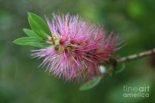 Photograph - Callistemon Viminalis Taree Pink Weeping Bottlebrush Flowering Trees Of Hawaii by Sharon Mau