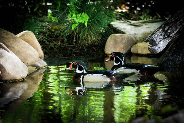 Calm Waters - Wood Ducks Art Print