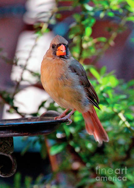 Photograph - Cam, A Female Cardinal by Patricia Youngquist