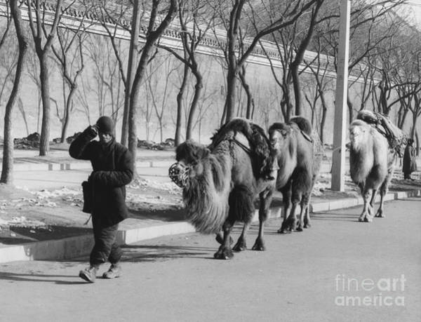 Wall Art - Photograph - Camel Caravan, China 1957 by The Harrington Collection