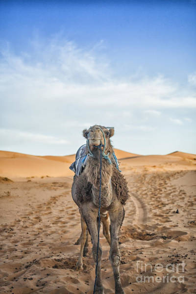 Gentle Man Wall Art - Photograph - Camel In The Desert by Patricia Hofmeester