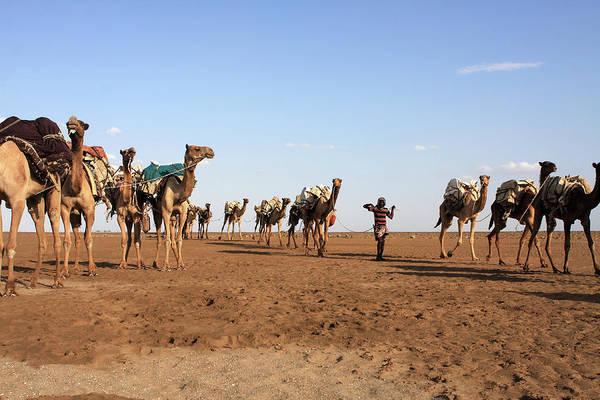 Photograph - Camel Salt Train by Aidan Moran