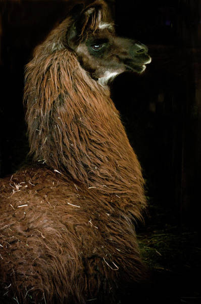 Photograph - Camelid 1 by Catherine Sobredo