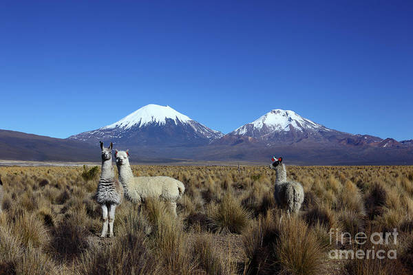 Photograph - Camelids And The Payachatas Volcanos Bolivia by James Brunker