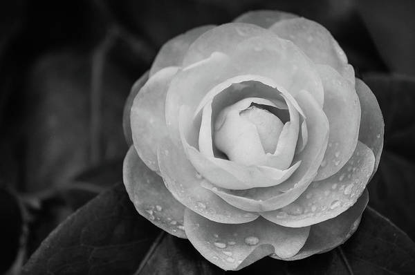 Photograph - Camellia Black And White by Amanda Rimmer