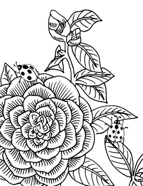 Drawing - Camellia And Ladybugs Drawing  by Irina Sztukowski