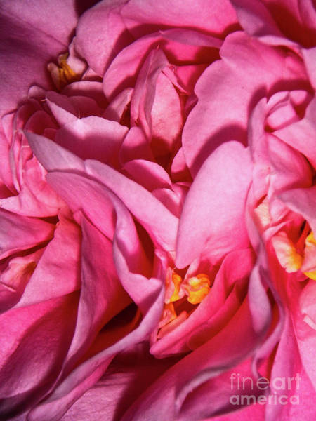 Photograph - Camellia Close by Judy Hall-Folde