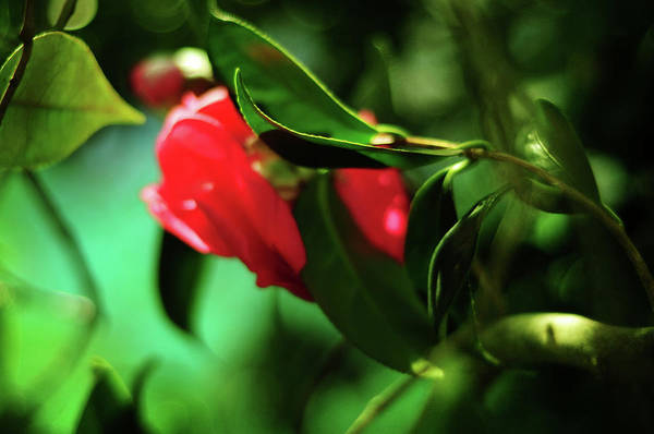 Photograph - Camellia Dream by Rebecca Sherman