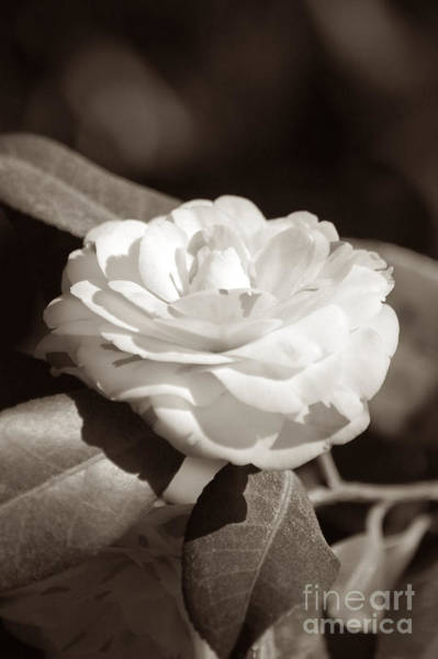 Photograph - Camellia Flower by Donna Bentley