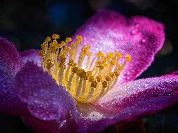 Photograph - Camellia In Light And Shadow by Brad Boland