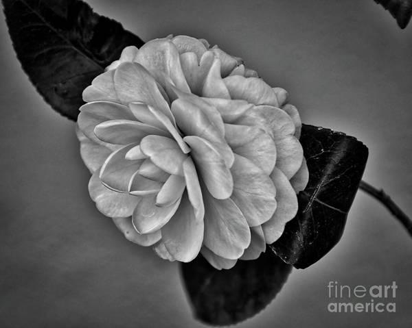 Digital Art - Camellia by Kirt Tisdale