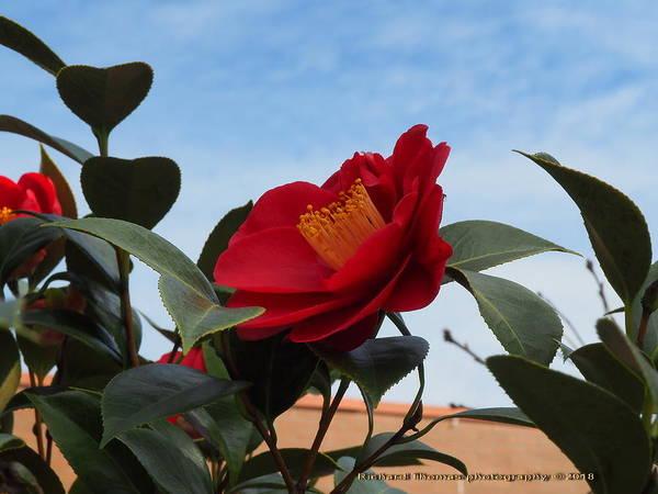 Camellia Kissing The Sky Art Print