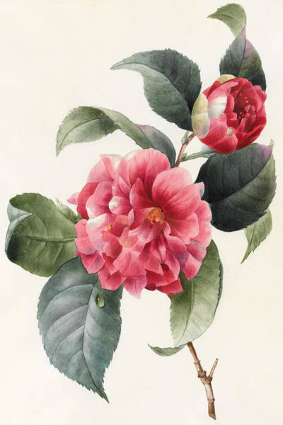 Decorative Drawing - Camellia by Louise D'Orleans