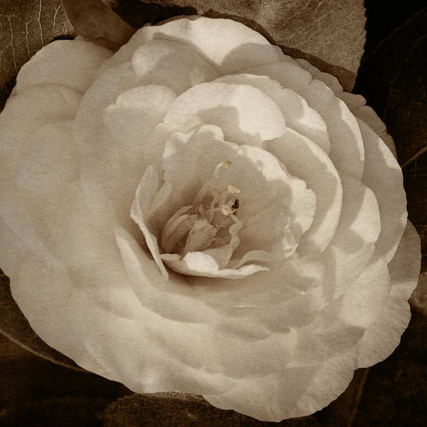 Photograph - Camellia Of White Tint by Theo O'Connor