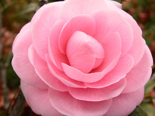 Photograph - Camellia by Ree Reid