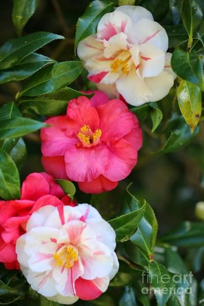 Photograph - Camellia Trio by Carol Groenen