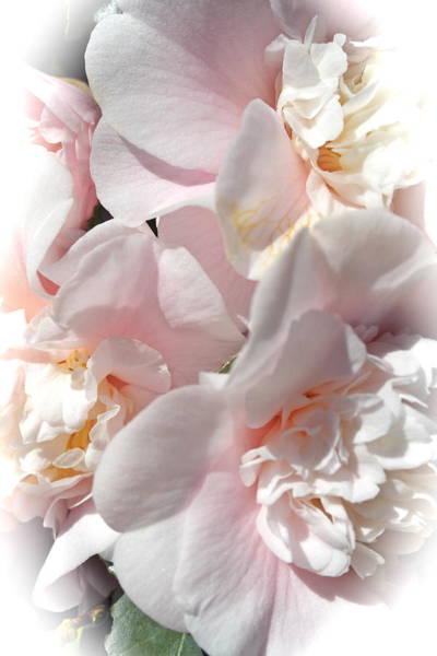 Camellias Softly Art Print