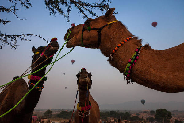 Photograph - Camels And Balloons by Marji Lang
