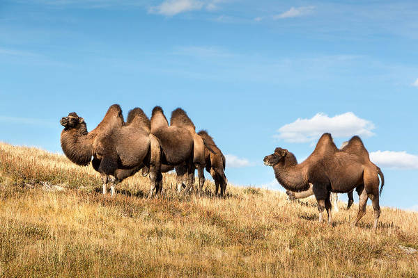 Photograph - Camels At Accola River Valley. Altai by Victor Kovchin