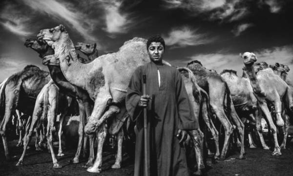 Wall Art - Photograph - Camels Gaurdian by Mohamed Safwat Abonour
