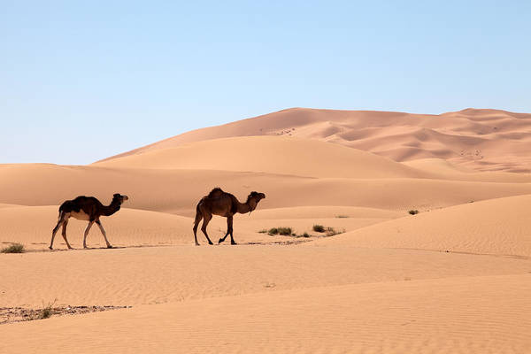 Photograph - Camels In Desert by Aivar Mikko