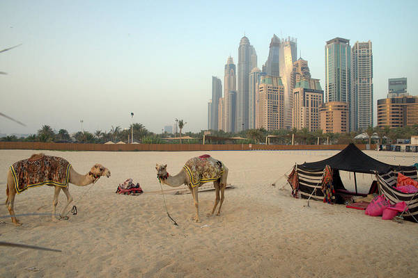 Photograph - Camels In The Desert Overlooking Dubai Skyline by Alexandre Rotenberg
