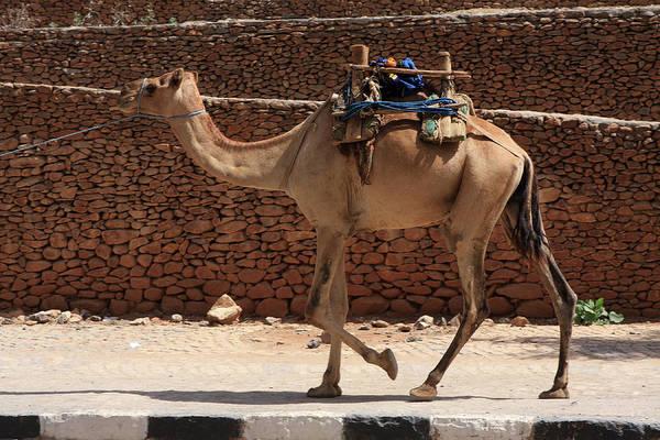 Photograph - Camels Of Axum by Aidan Moran