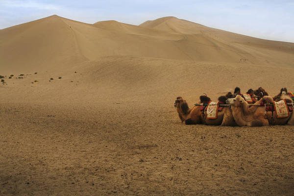 Camels Of The Silk Route Art Print