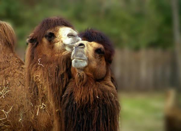 Photograph - Camels Pride by Wayne King