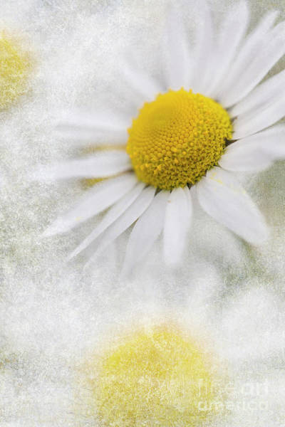 Photograph - Camomile Flora by Heiko Koehrer-Wagner