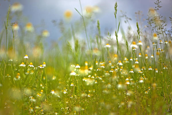 Wiese Wall Art - Photograph - Camomile by Renata Vogl
